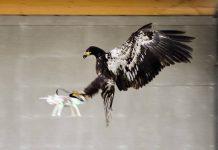 Águia captura drone na Holanda