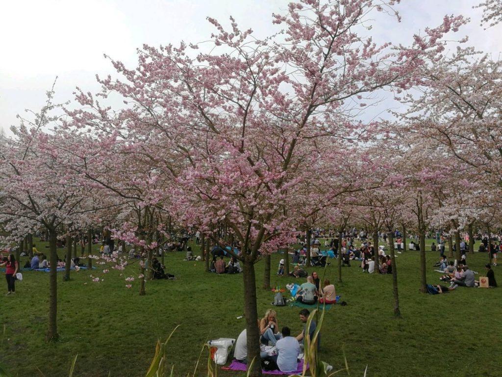 Parque das Cerejeiras na Holanda: pessoas fazem piquenique ccrcadas pelas cerejeiras em flor