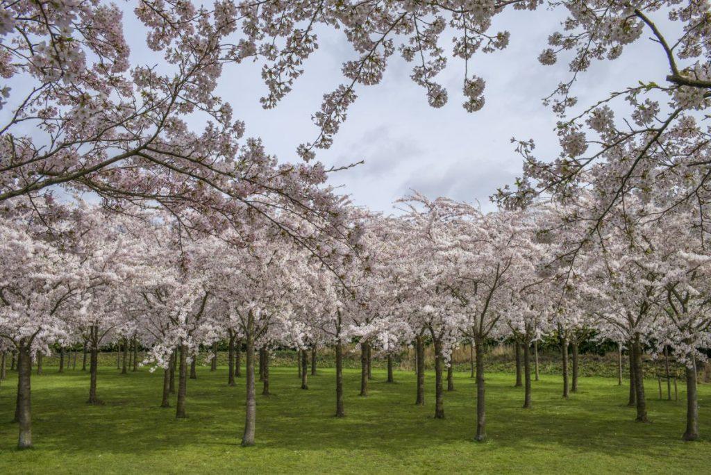 parque das cerejeiras em amstelveen, pertinho de amsterdam, na holanda, totalmente em flor