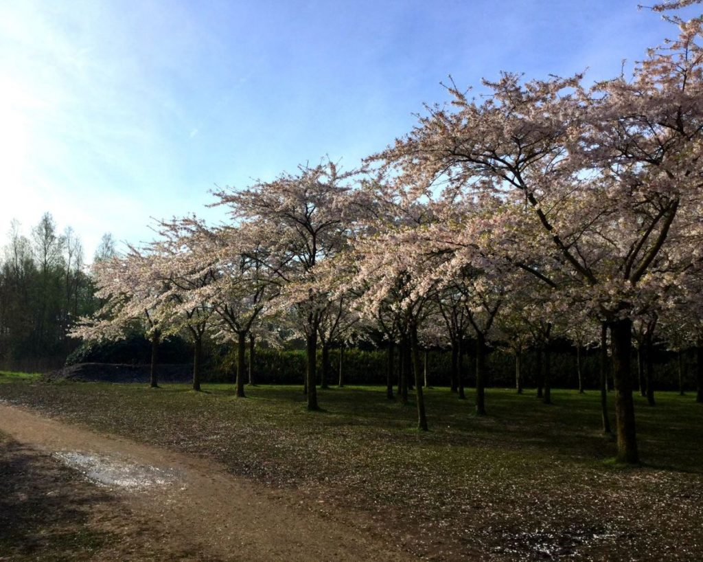 Parque das Cerejeiras na Holanda: flores começam a cair