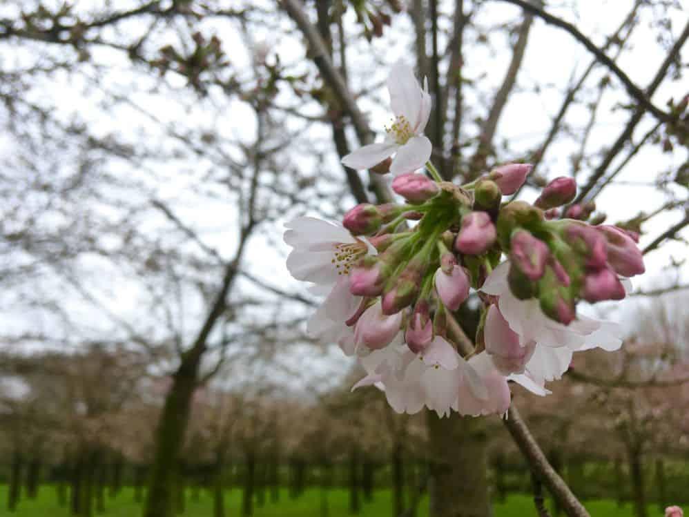 cerejeiras em flor no parque das cerejeiras da holanda próximo a amsterdam