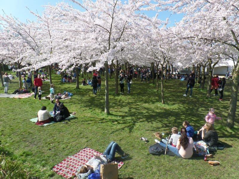 Bloesempark, o parque das cerejeiras que fica em Amstelveen, próximo à Amsterdam, na Holanad