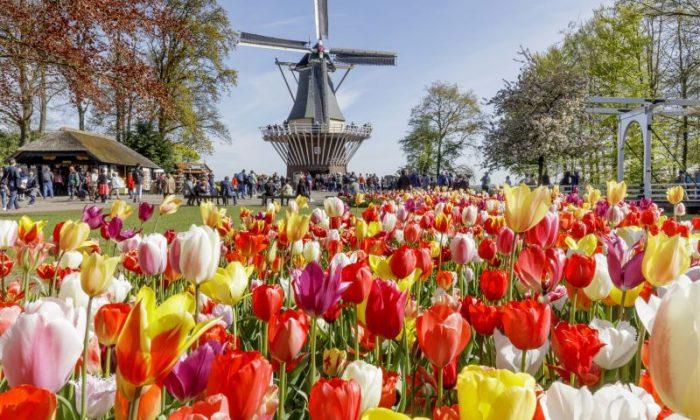 Keukenhof com moinho de vento e jardim de tulipas