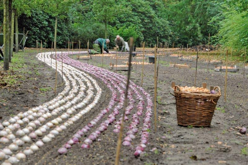 milhões de bulbos são plantados todos os anos no Keukenhof