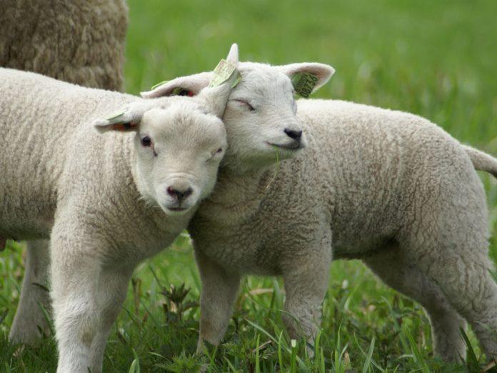 Lammetjesdag dia de abraçar os carneirinhos na Holanda. tradição da primavera na holanda.