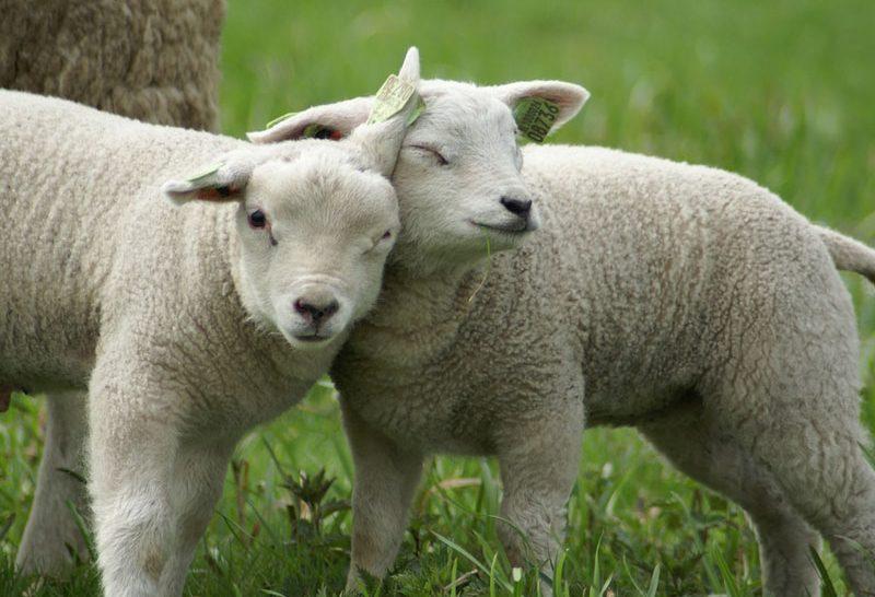Lammetjesdag dia de abraçar os carneirinhos na Holanda