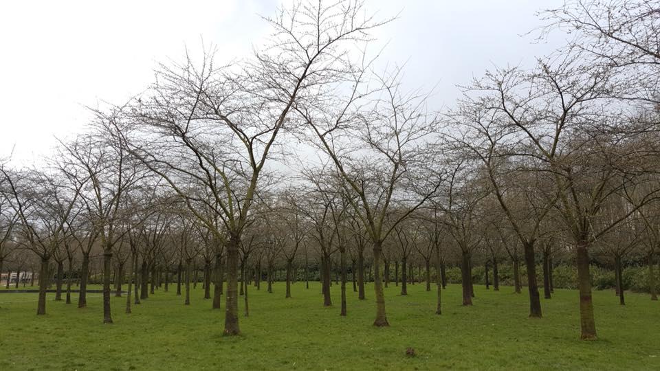 parque das cerejeiras da holanda em amstelveen, cidade proxima a amsterdam, na holanda. situaçao das flores de cerejeira nomomento
