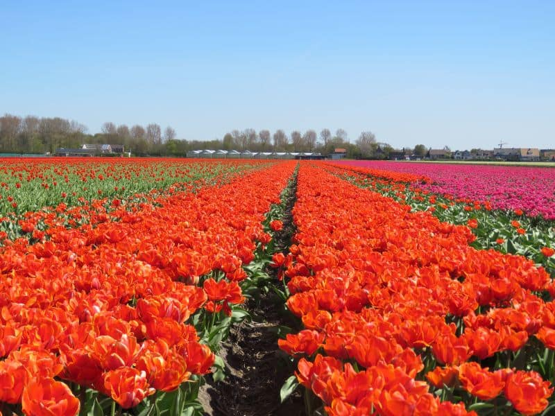 Campo de tulipas laranjas