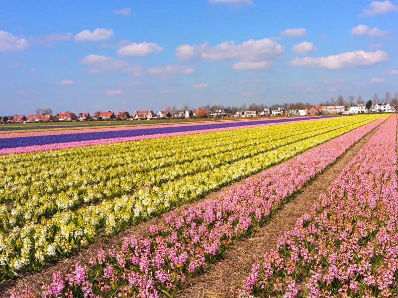 Campo de flores na Holanda. Não há só tulipas, mas jacintos também