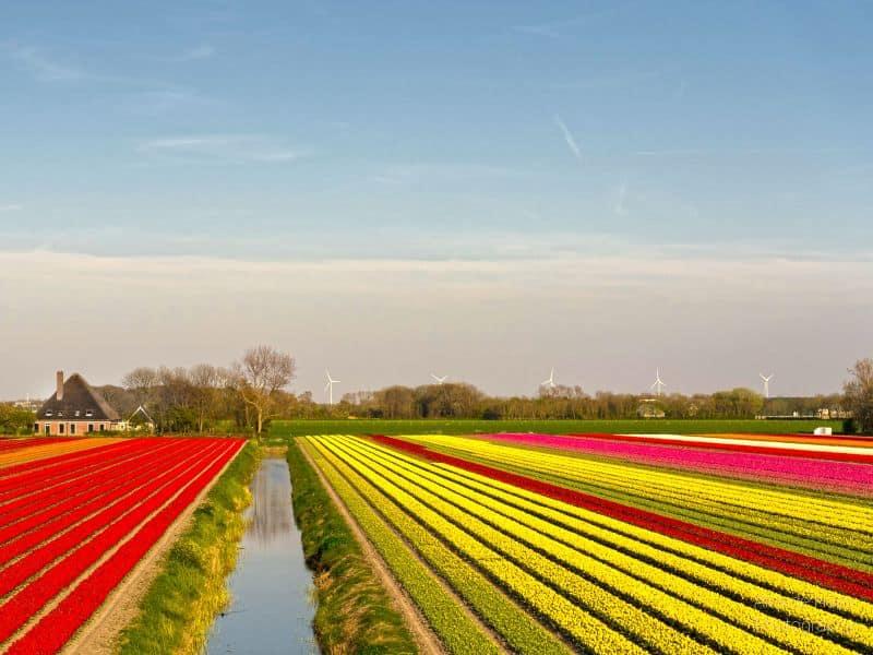 Campo de tulipas na Holanda como visitar capa
