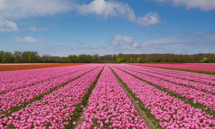 Rotas e dicas de como visitar os campos de tulipas rosas na Holanda