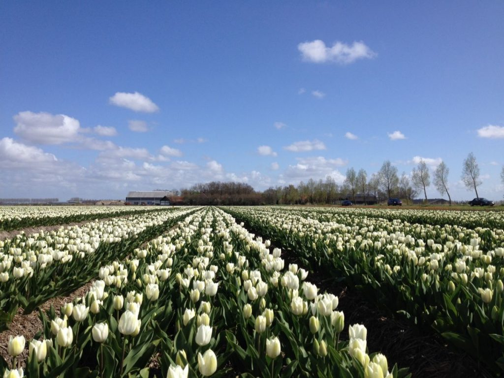 Campos de tulipas brancas com carros passando pela estrada em Noordoostpolder, onde fica a maior rota de campos de tulipas da Holanda e do mundo