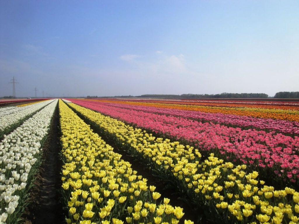Campos de tulipas de várias cores em Noordoostpolder, onde fica a maior rota de campos de tulipas da Holanda e do mundo