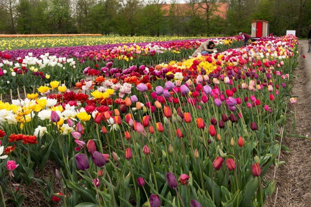 Eu tirando foto de tulipas na maior rota de campos de tulipas do mundo, em Noordoostpolder, Flevoland, Holanda