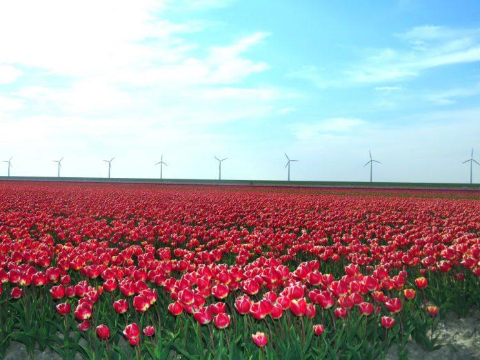 campos de tulipas em noordoostpolder, onde fica a maior rota de campos de tulipas da holanda e do mundo