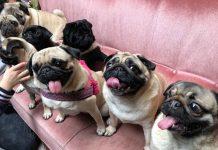 pug café em amsterdam é o primeiro café para cachorros da raça pug no país