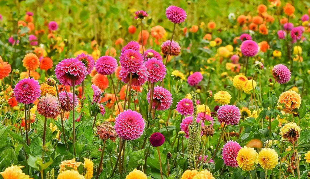 visite os campos de dálias na Holanda. essas flores crescem no verão, ao contrário do campo de tulipas, típicas da primavera