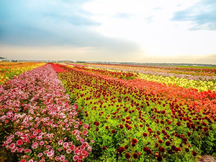 campo de flores (dálias) de diversas cores. Elas aparecem durante verão da Holanda, ao contrário do campo de tulipas, que é típico da primavera